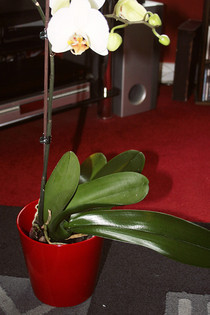 How To Gok Your Orchids