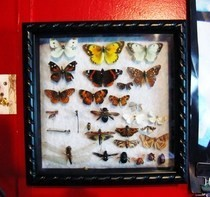 Bug Display Case