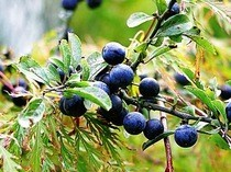 Sloe Gin