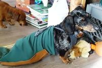 How to make a dog outfit. Paralyzed Weiner Dog Drag Bag - Step 11