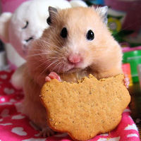 Large_square_hamster_with_cookie