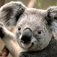 Large_square_koala