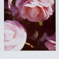 Large_square_pola_flower