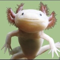 Large_square_axolotl