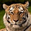 tortishell tiger