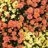 Large_square_fall_mums