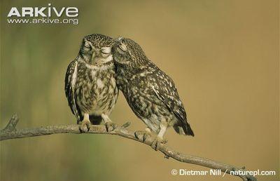 Medium little owl courtship