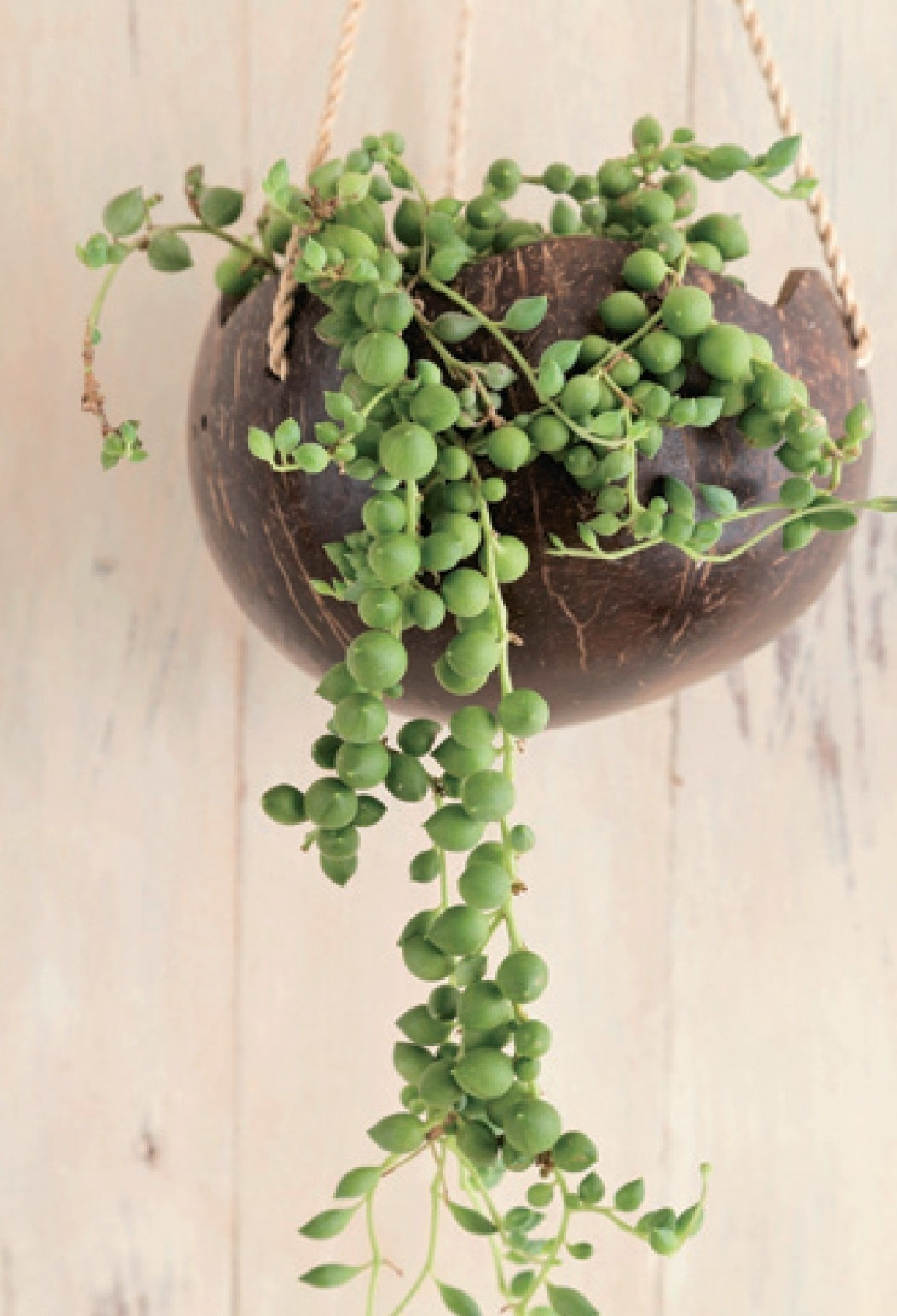String Of Pearls 183 Extract From Stylish Succulents By Yoshinobu Kondo 183 How To Plant A Plant A