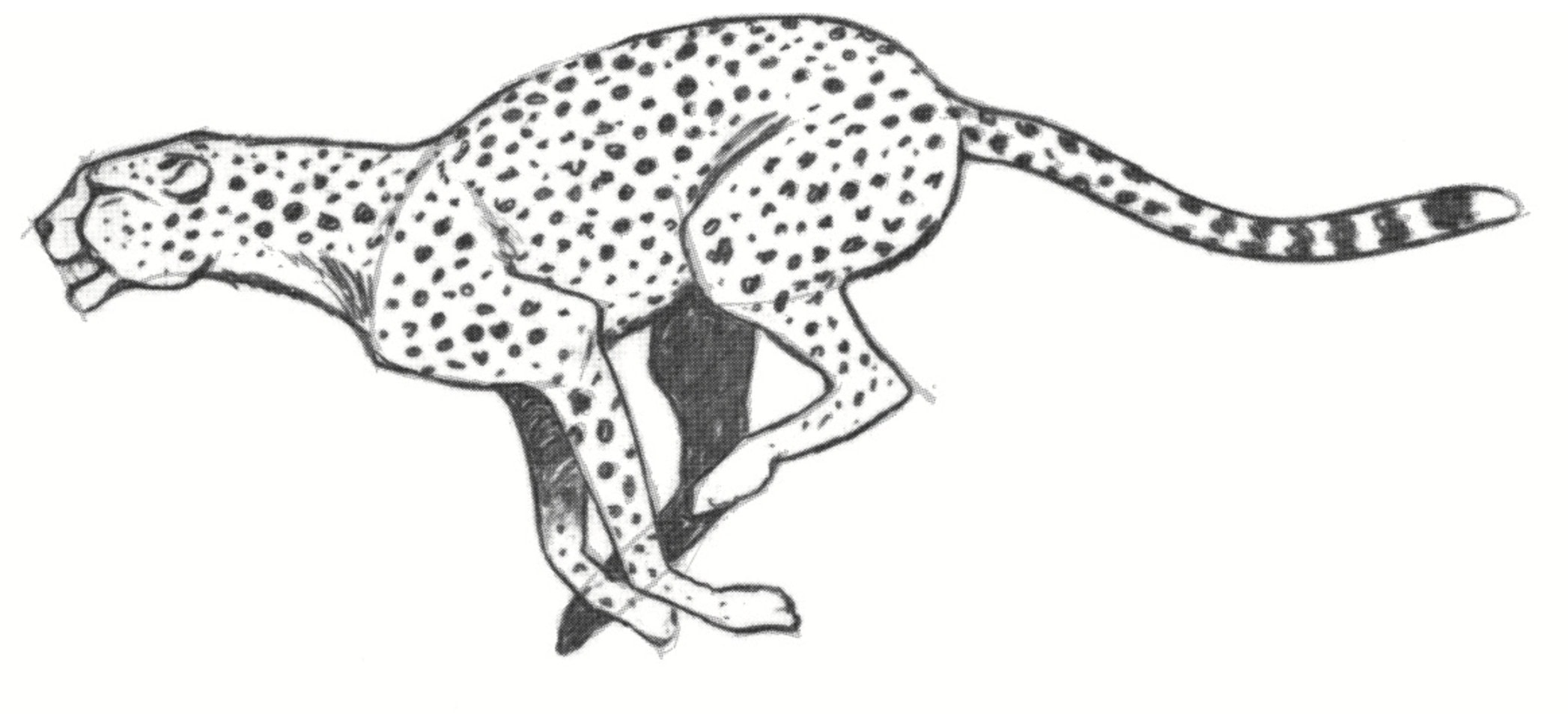 Draw A Cheetah Extract From Draw 200 Animals By Lee J Ames How To Draw An Animal Drawing
