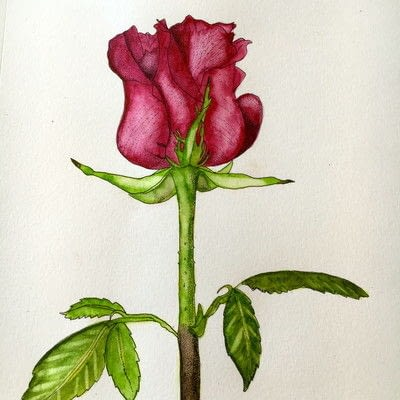 How to paint a piece of watercolor art. How To Illustrate A Rose - Step 8