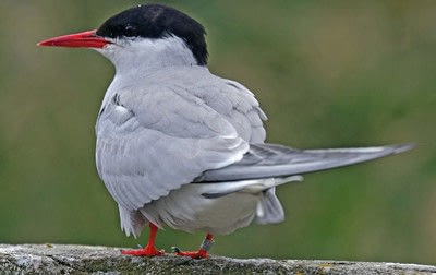 How to draw an animal drawing. Arctic Terns - Step 1