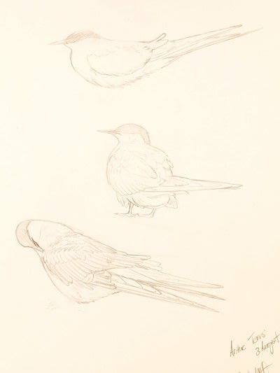 How to draw an animal drawing. Arctic Terns - Step 3