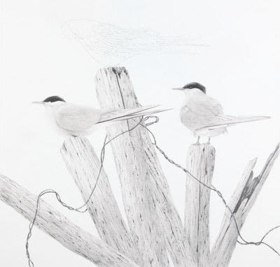 How to draw an animal drawing. Arctic Terns - Step 7