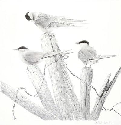 How to draw an animal drawing. Arctic Terns - Step 8