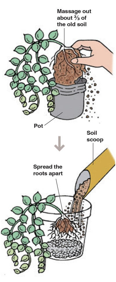 How to plant a plant / a flower / a tree. String Of Pearls - Step 3