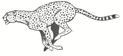 How to draw an animal drawing. Draw A Cheetah - Step 8