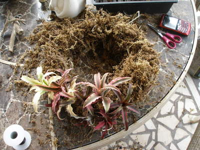 How to make a floral wreath. Bromelaid Living Wreath - Step 2