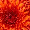 Normal square chrysanthemum